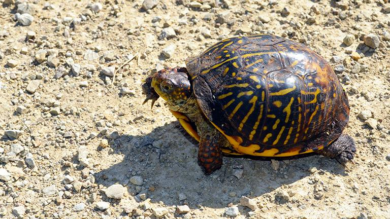 Endangered turtles reintroduced into wild with help from illinois zoos