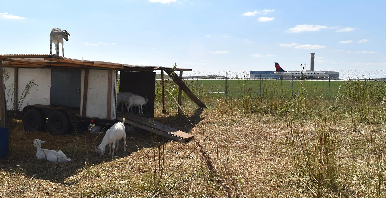 Goats help clear vegetation near the airfield at O'Hare International Airport. (Courtesy Chicago Department of Aviation)