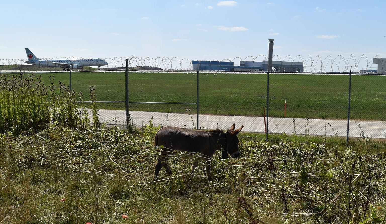 A donkey roams on land to the west of the O'Hare airfield. (Courtesy Chicago Department of Aviation)
