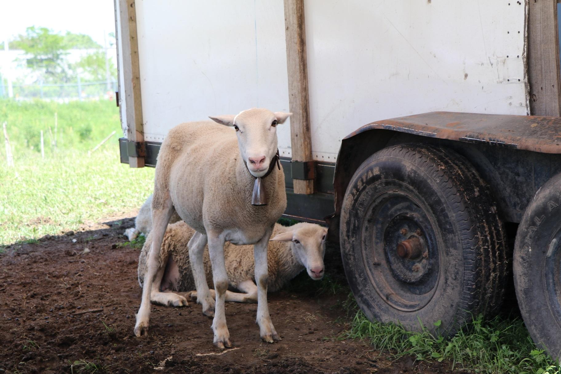 Two lambs get some shade underneath the trailer pen. (Evan Garcia / WTTW)