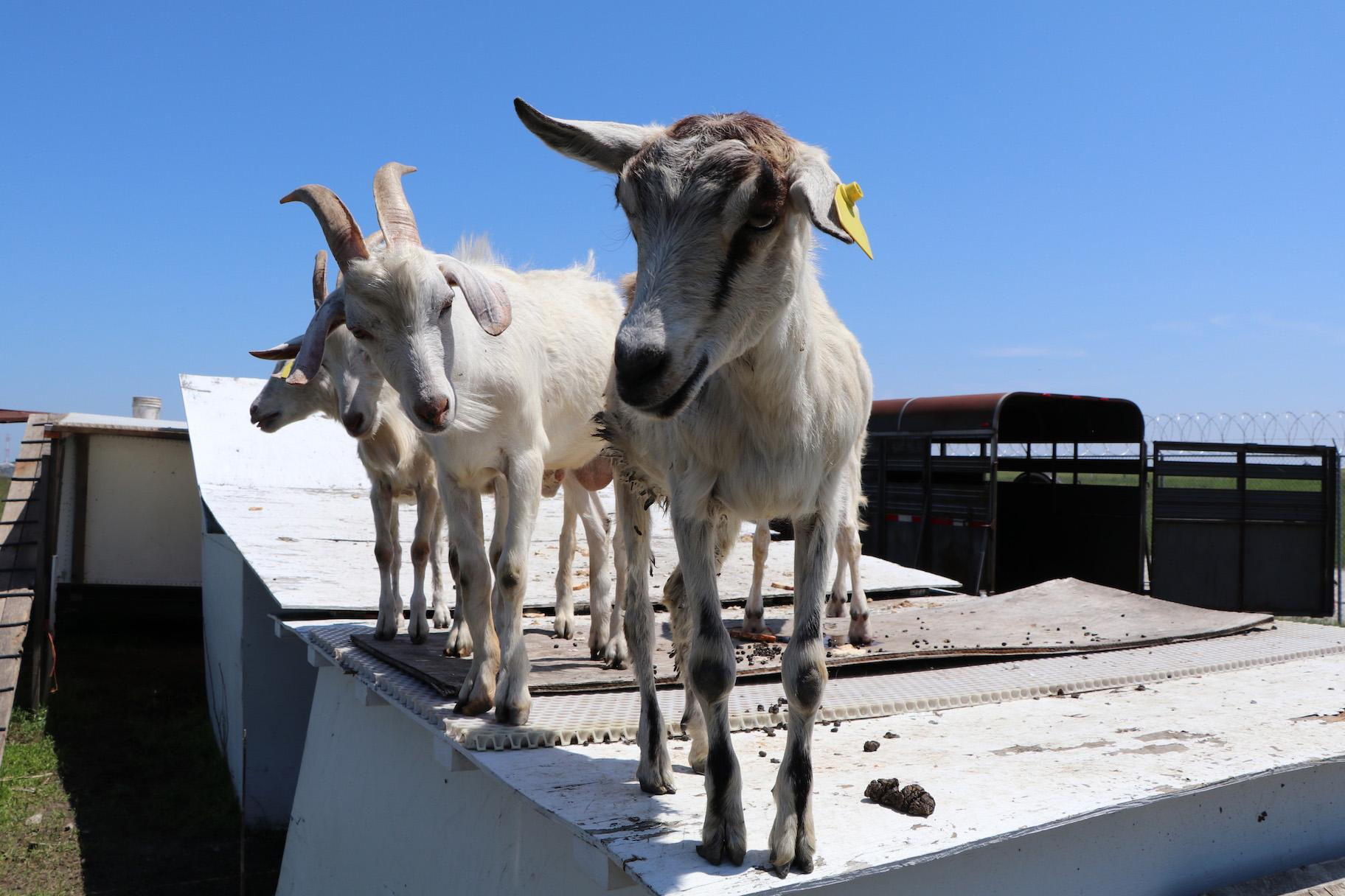 Goats stand on the trailer pen outside Chicago's O'Hare International Airport. (Evan Garcia / WTTW)