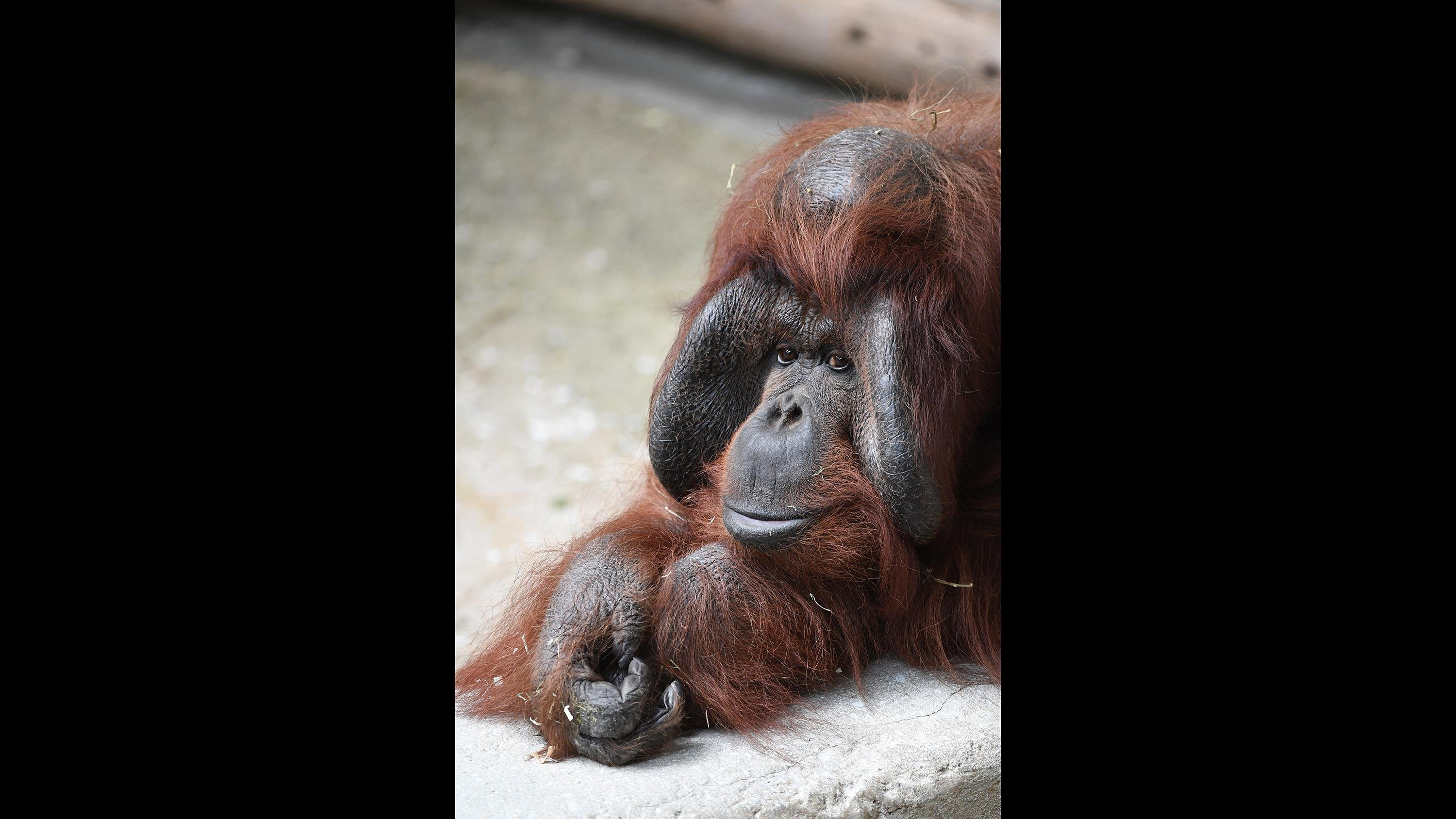 Ben, a 40-year-old orangutan at Brookfield Zoo. (Jim Schulz / Chicago Zoological Society)