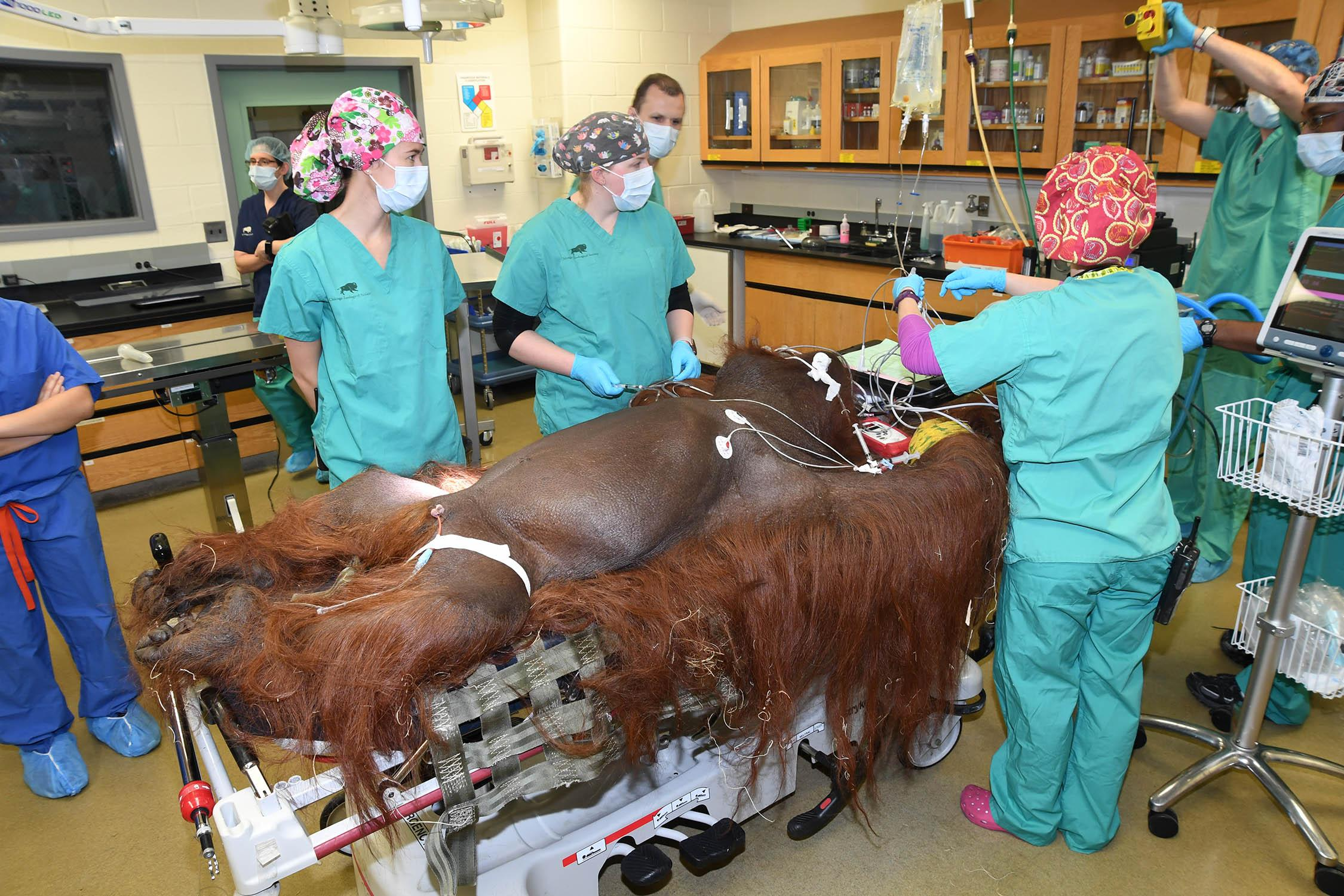 Ben, a 40-year-old orangutan at Brookfield Zoo, received an emergency appendectomy Jan. 23 to remove a ruptured appendix. (Jim Schulz / Chicago Zoological Society)