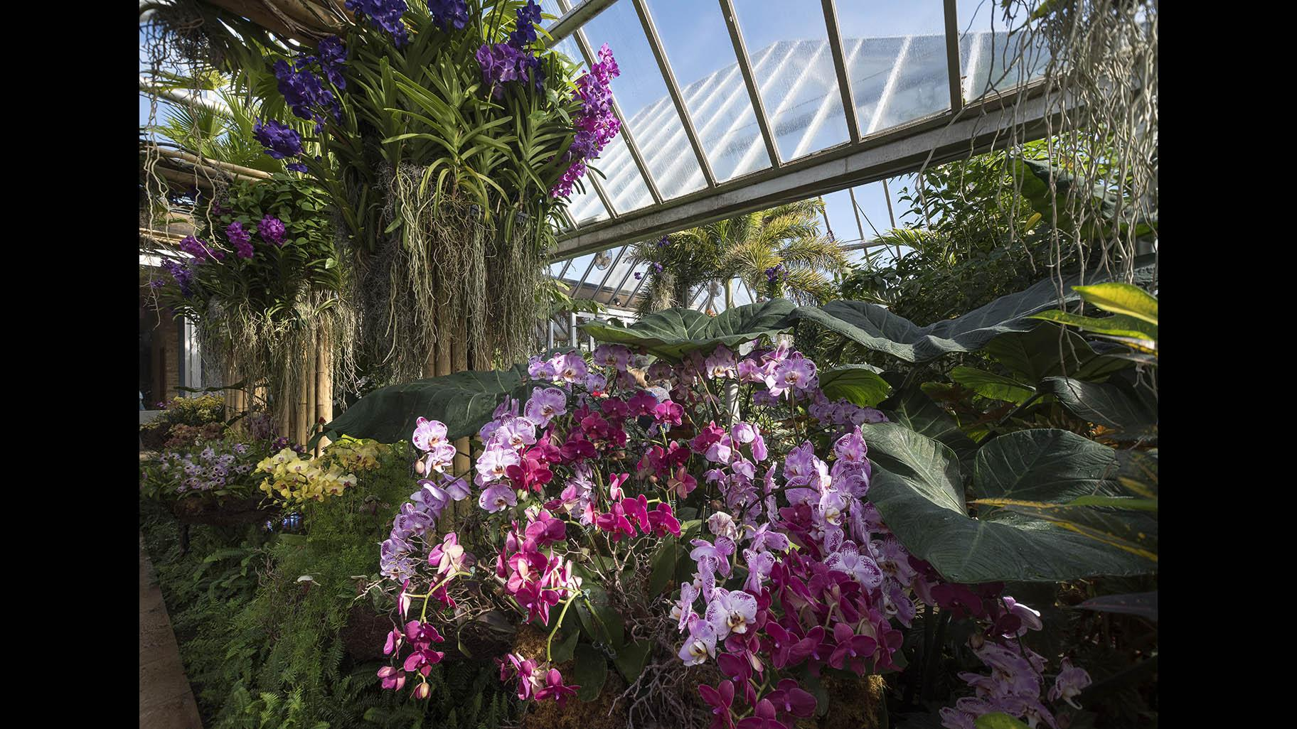 The Orchid Show returns to the Chicago Botanic Garden on Feb. 8, 2020. (Courtesy of the Chicago Botanic Garden)