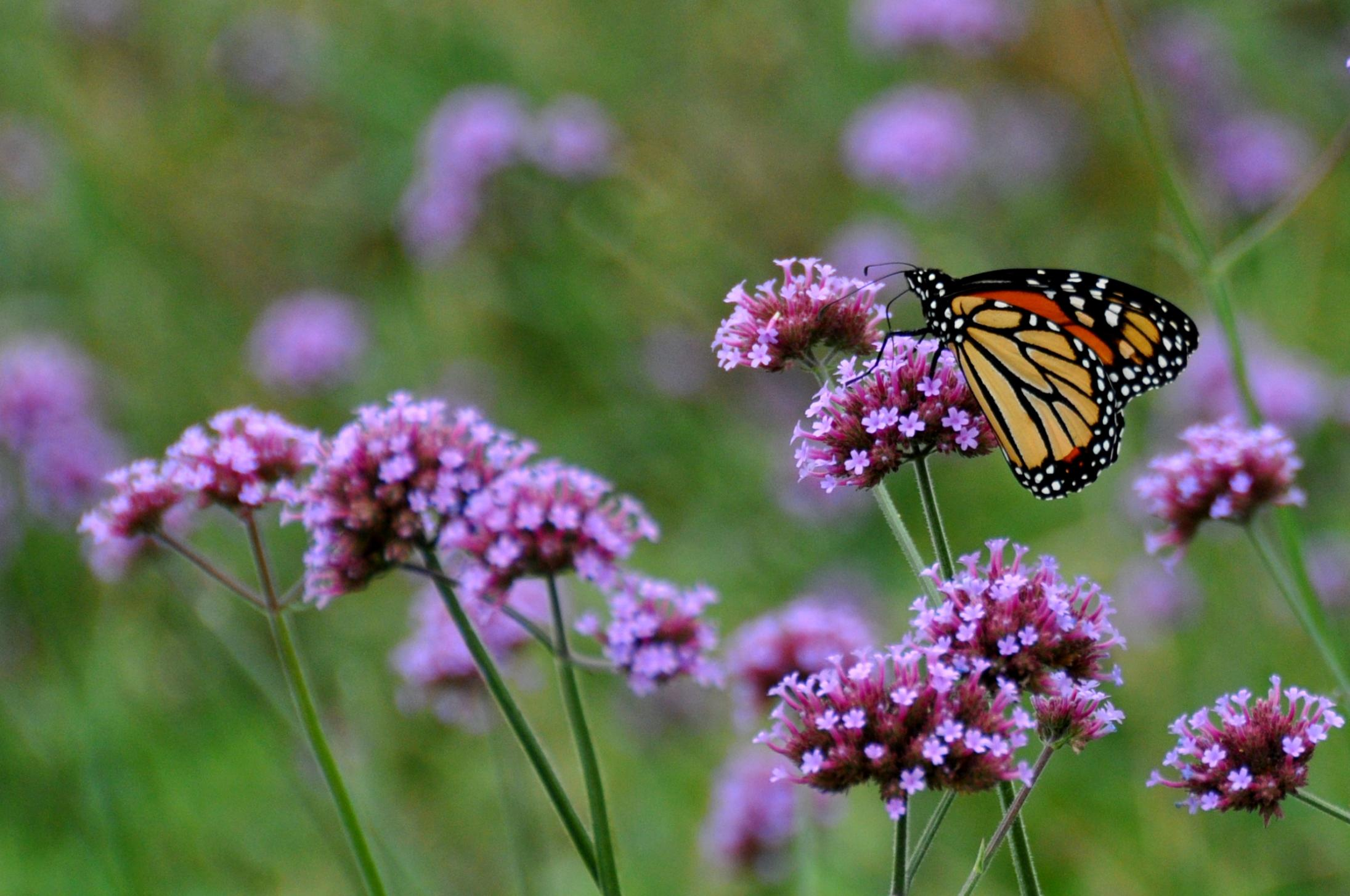 save the monarch butterfly plant milkweed chicago tonight wttw