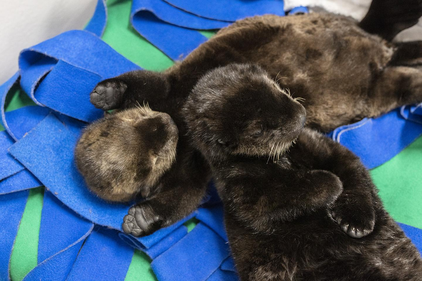 Shedd's two sea otter pups often sleep next to each other. (Brenna Hernandez / Shedd Aquarium)