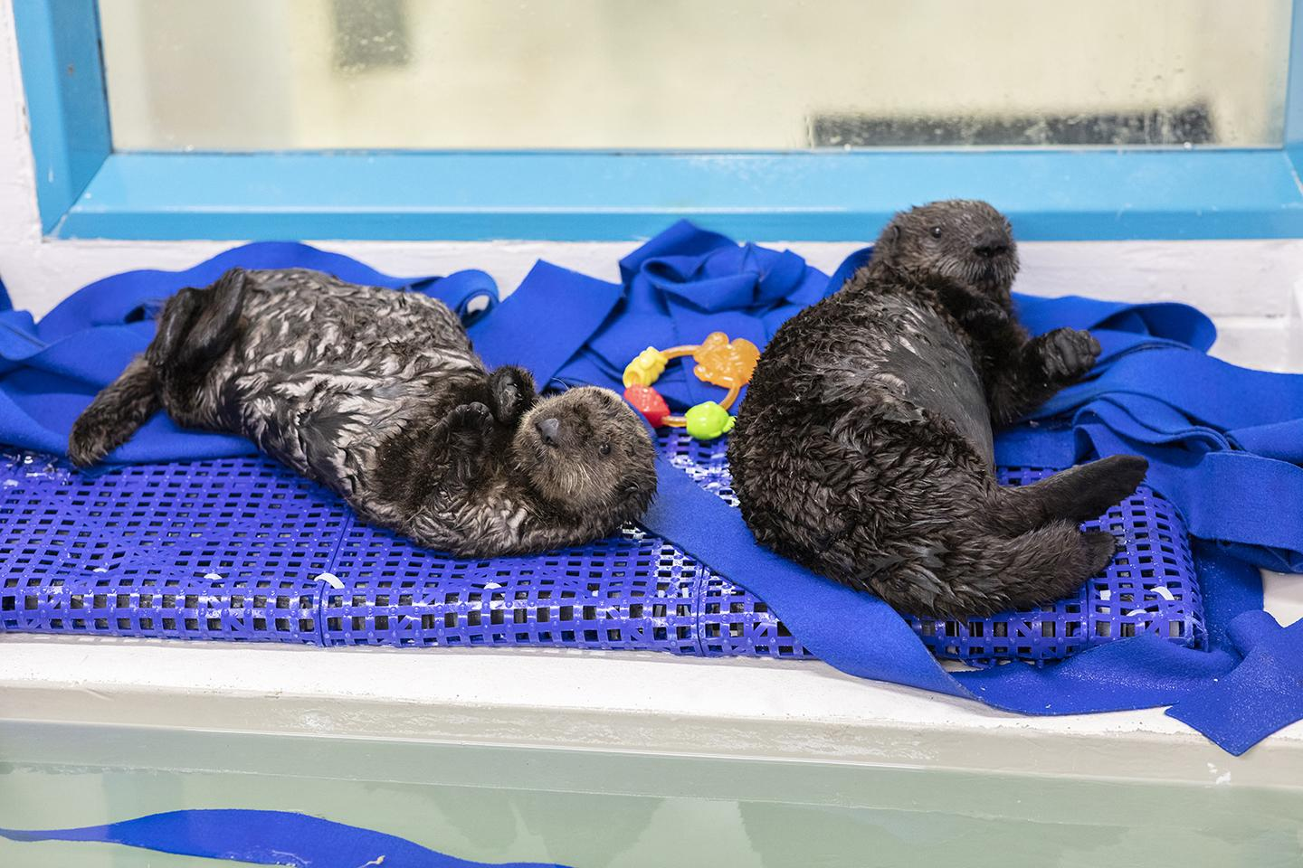 The pups play with plastic toys and can often be found wrestling playfully with each other. (Brenna Hernandez / Shedd Aquarium)