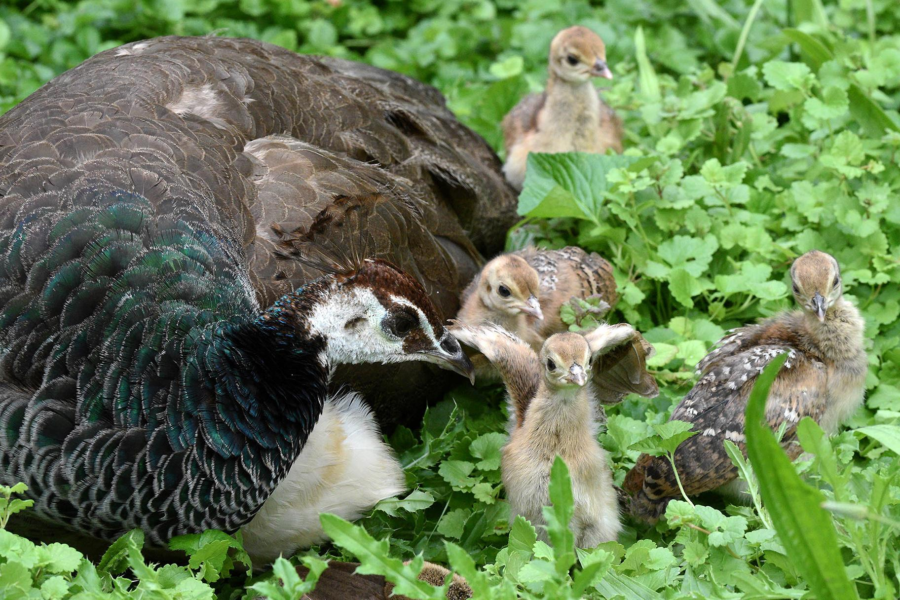 Peafowl chicks with mom Gouda at Brookfield Zoo (Courtesy Chicago Zoological Society)
