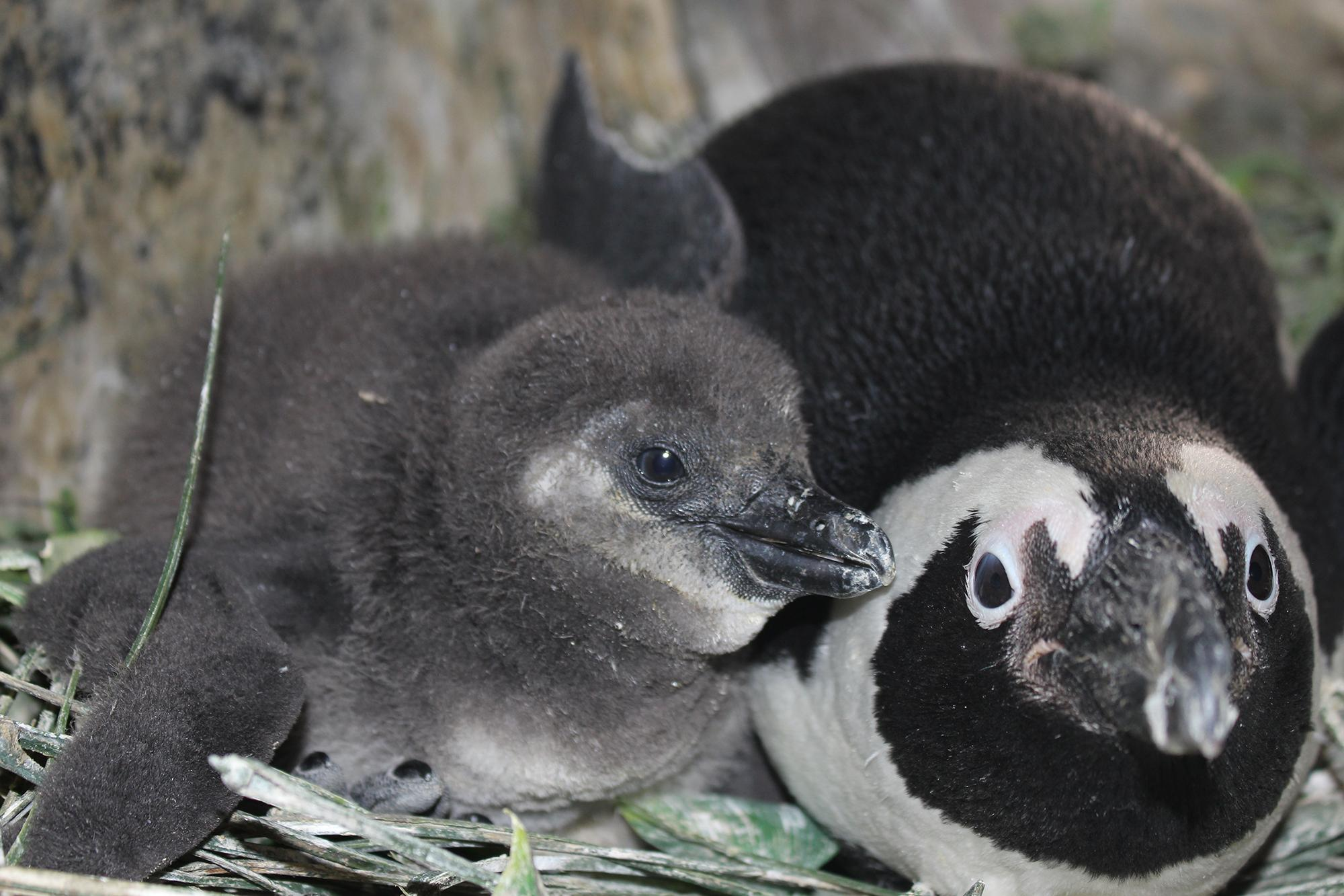 An African penguin chick hatched Feb. 10 at Lincoln Park Zoo, pictured here at 21 days old. (Courtesy Lincoln Park Zoo)