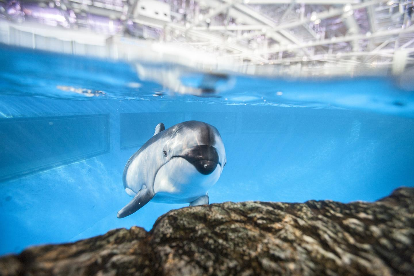 One of Shedd Aquarium's Pacific white-sided dolphins, Piquet, is expected to give birth in the fall. (Brenna Hernandez / Shedd Aquarium)