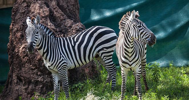 2 plains zebras debut at lincoln park zoo chicago news wttw