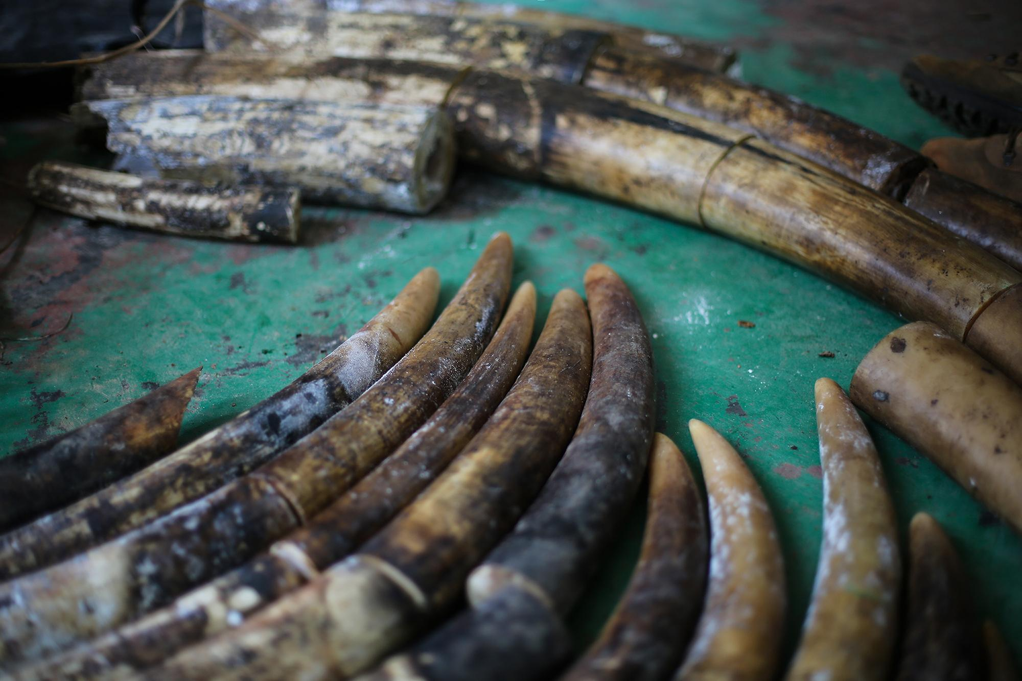 Ivory seized Feb. 2 from poachers convicted of killing 11 elephants in and around Nouabale-Ndoki National Park in the Republic of Congo. (Z. Labuschagne / Wildlife Conservation Society)
