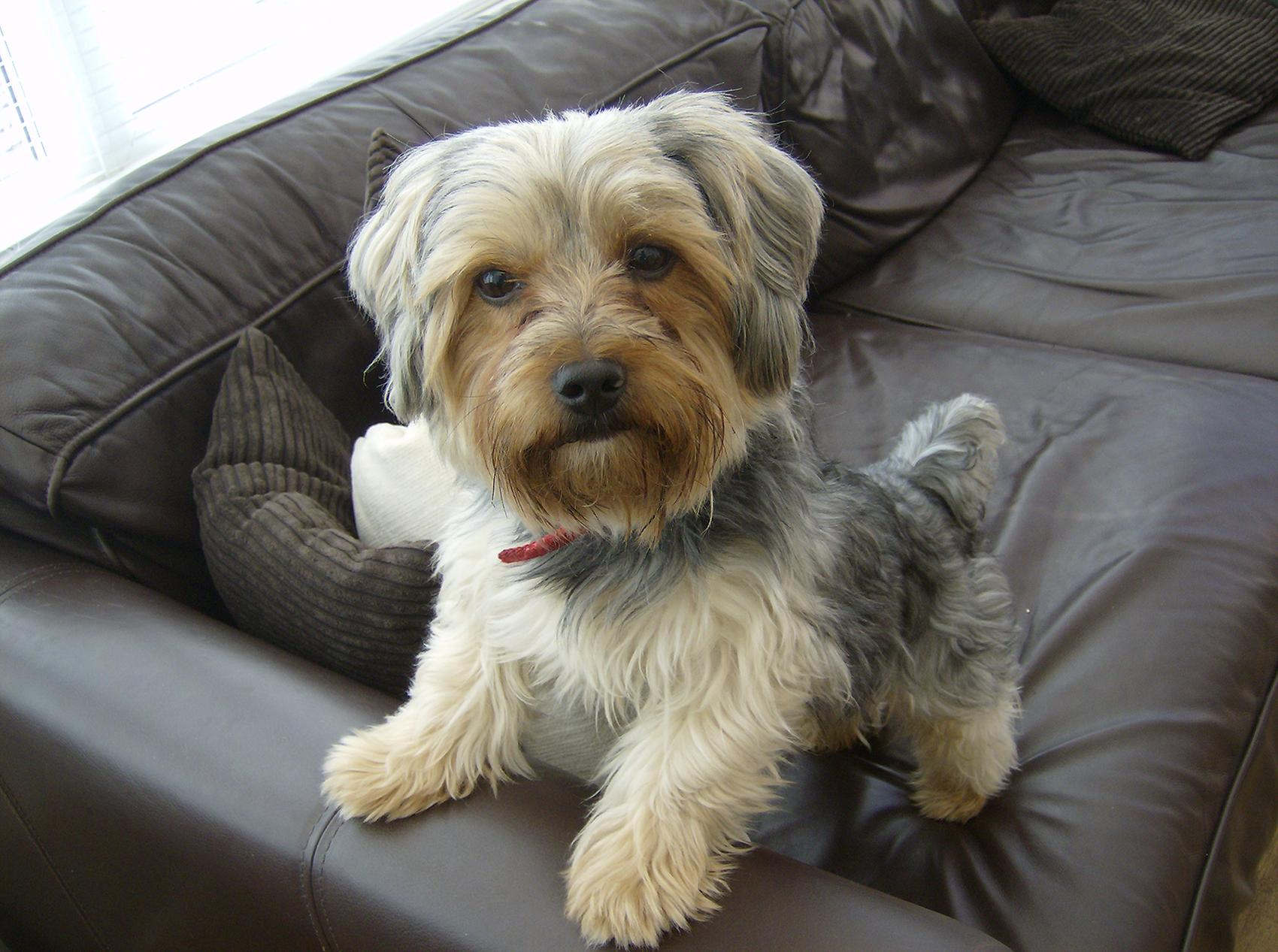 Nearly 9 percent of reported complaints about online pet scams involved Yorkshire terriers. (George2001hi / Wikipedia)