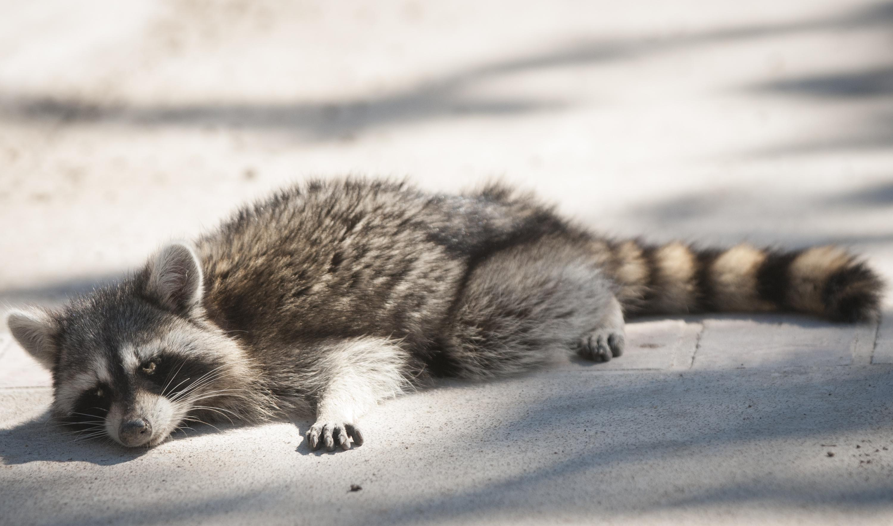 dog owners warned of raccoons infected with canine distemper