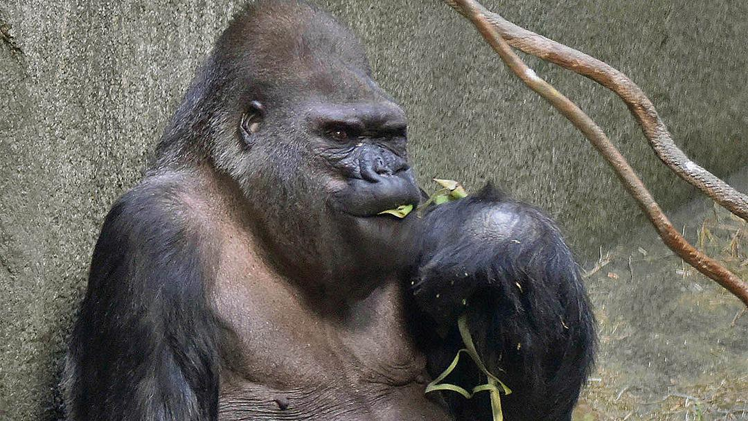 Ramar, a 50-year-old western lowland gorilla, is the oldest animal at Brookfield Zoo. (Courtesy Chicago Zoological Society)