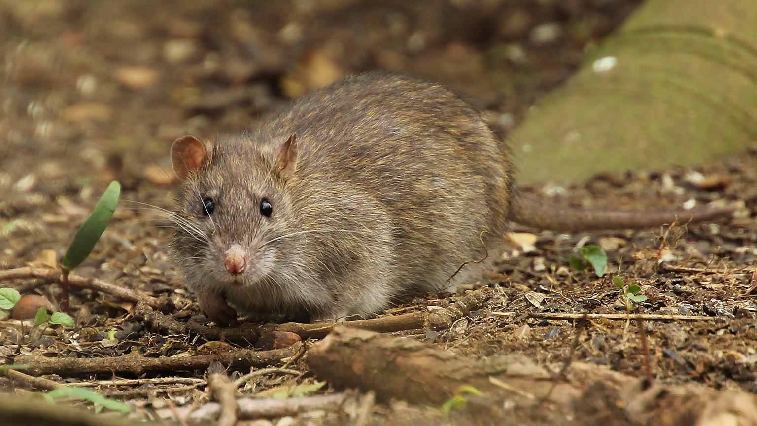 The brown rat (Tony Sutton / Flickr)