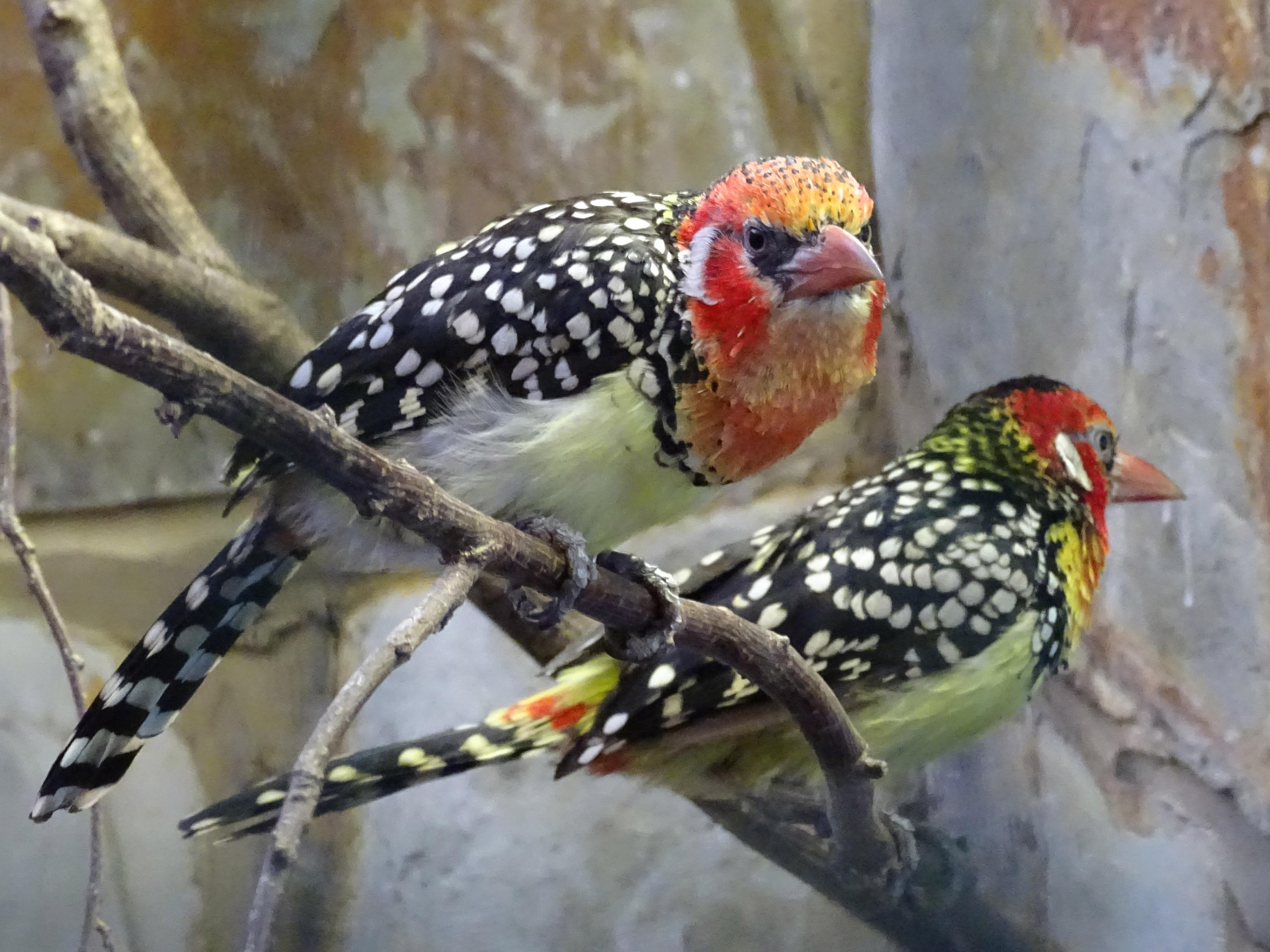 Red-and-yellow barbets at Birdworld in England. (SurreyJohn / Wikimedia Commons)