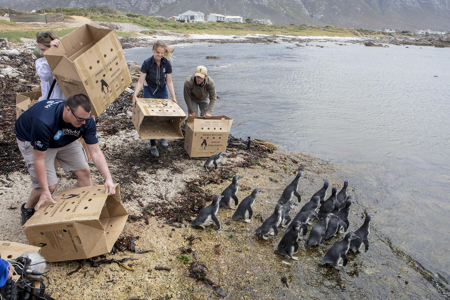 Kurt Heizmann of Shedd Aquarium's Animal Response Team releases penguin chicks back into the wild in South Africa. (Courtesy of Shedd Aquarium)