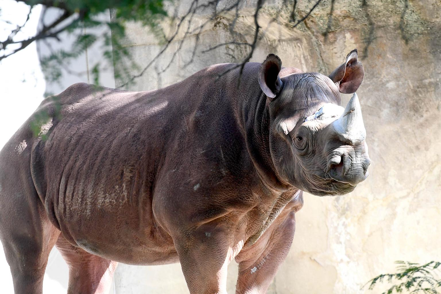 Brookfield Zoo Rhino Celebrates Birthday After Surviving