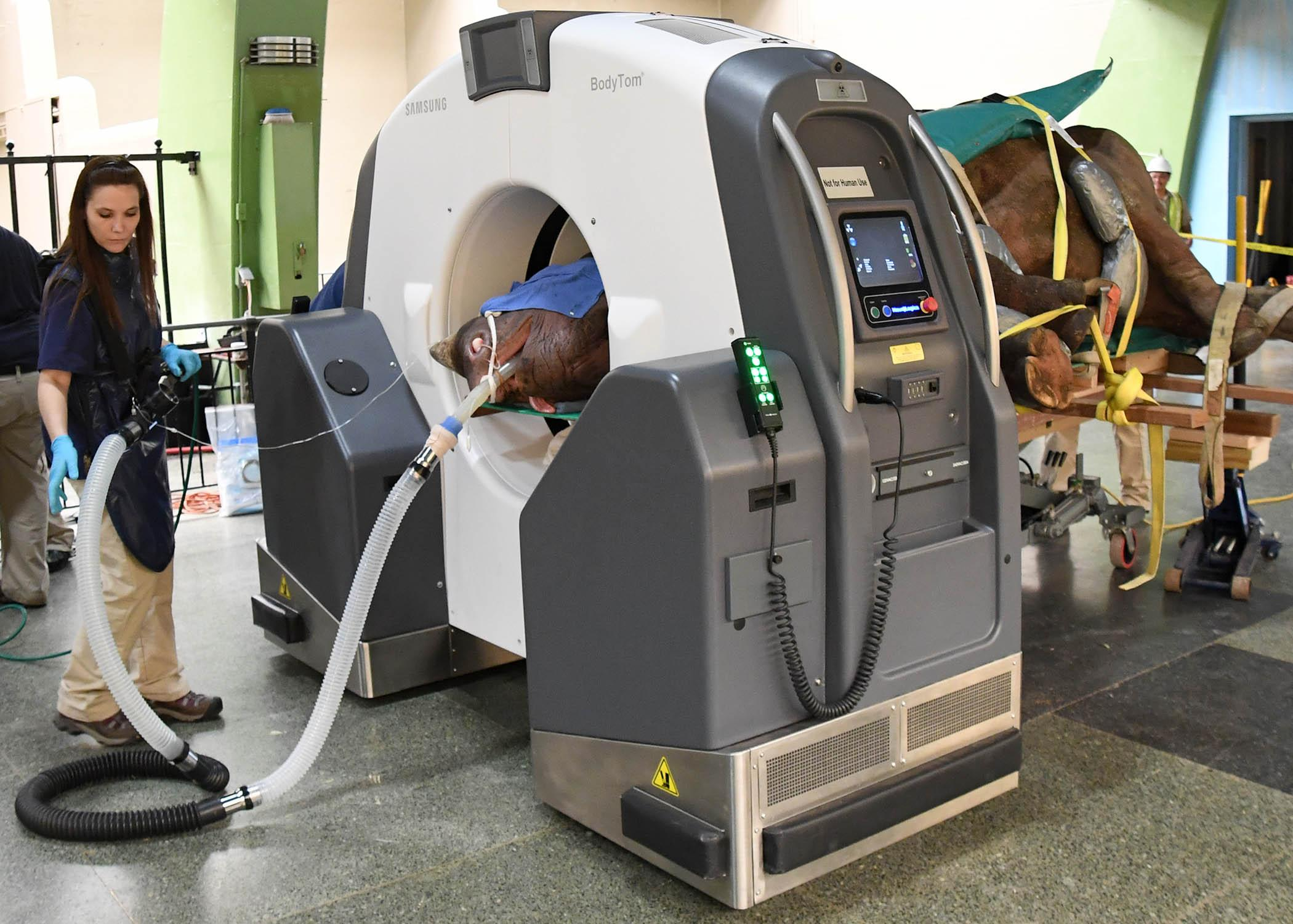 Michelle Soszynski, a senior veterinary technician at Brookfield Zoo, monitors Layla, a 7.5-year-old eastern black rhinoceros, as she receives a CT scan inside Brookfield Zoo's Pachyderm House. (Jim Schulz / Chicago Zoological Society)