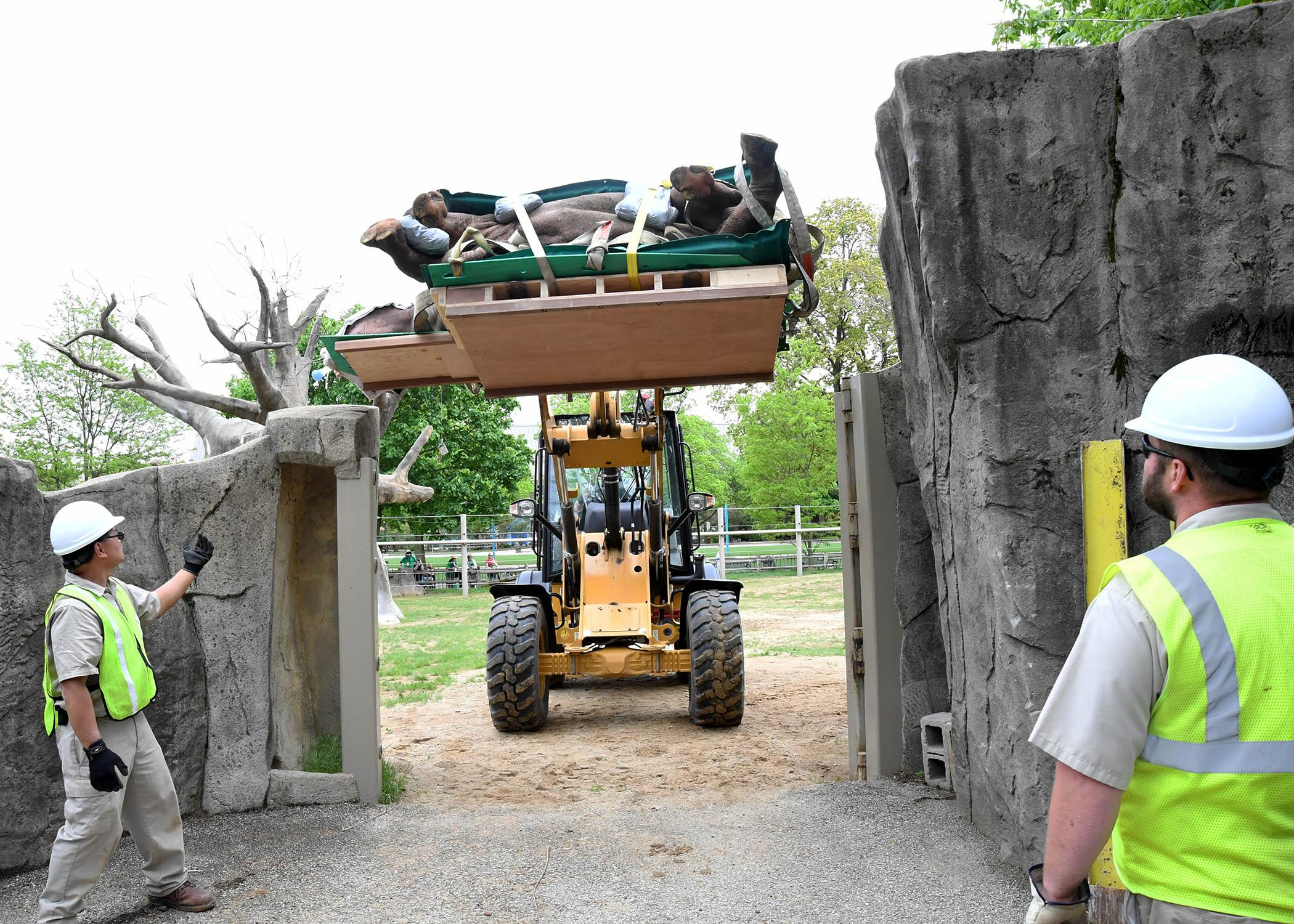 Vince Valderrama, left, and Jason Buttney, members of Brookfield Zoo's Grounds Department, direct the driver of a front-end loader carrying Layla, a 2,300-pound eastern black rhinoceros, during her transport for a CT scan. (Jim Schulz / Chicago Zoological Society)