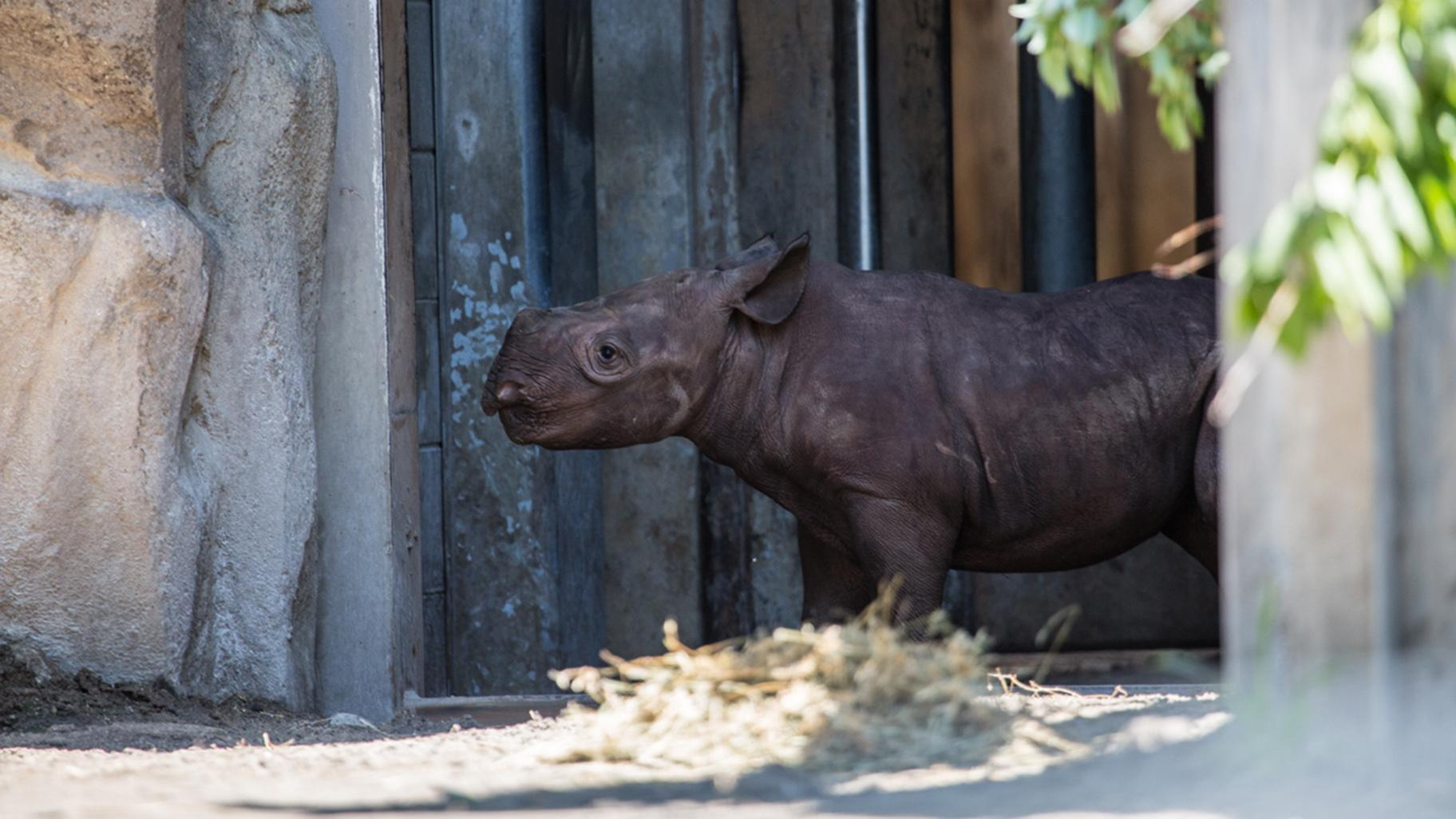 A yet-to-be-named black rhino calf debuted June 19 at Lincoln Park Zoo. (Christopher Bijalba / Lincoln Park Zoo)
