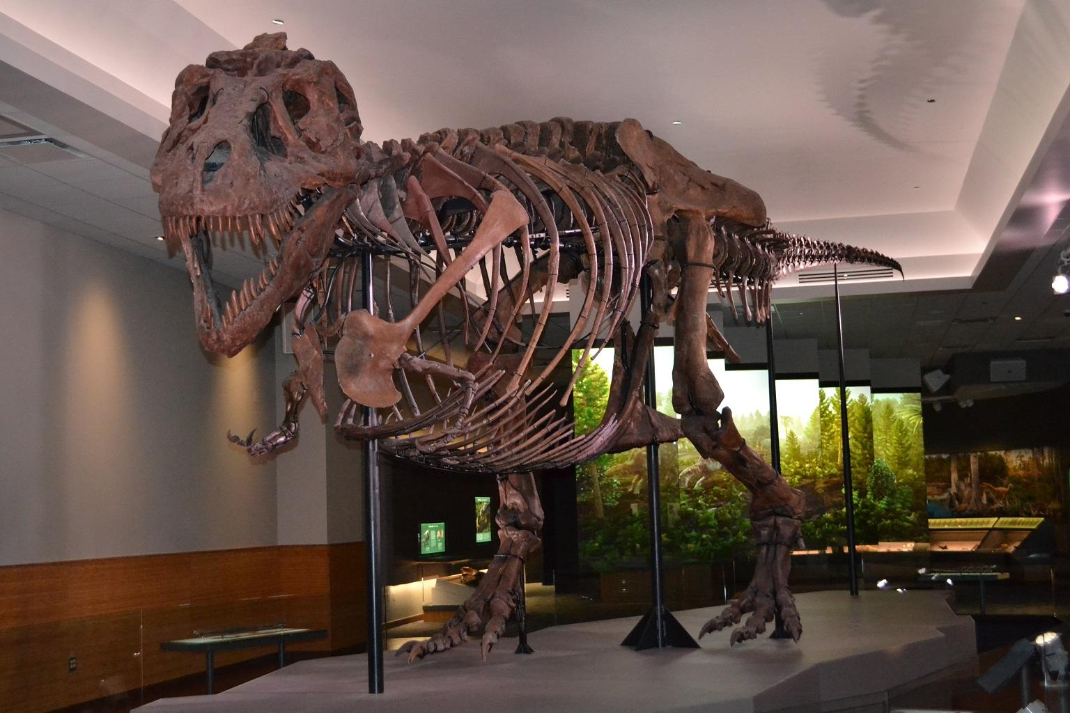 "Sue the T. Rex inside a new ""private suite"" that opened in late 2018 at the Field Museum. (Alex Ruppenthal / WTTW News)"