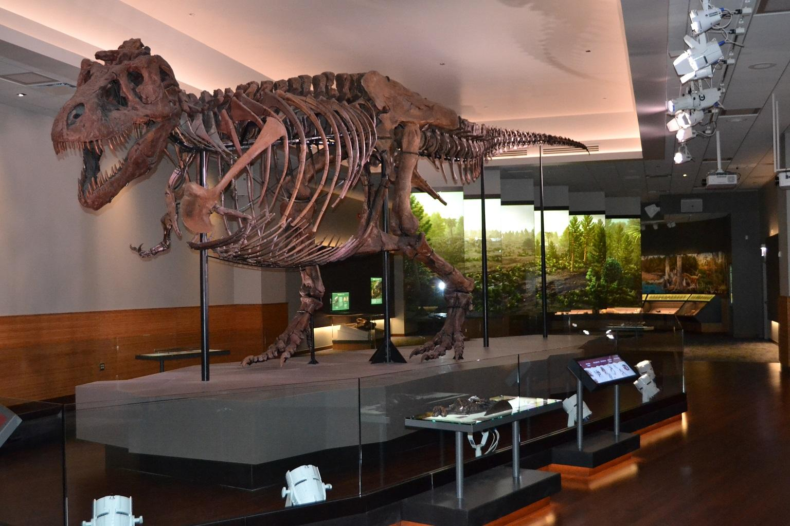 Sue measures 40 feet long and 13 feet tall. The dinosaur weighed nine tons when it was alive some 67 million years ago. (Alex Ruppenthal / WTTW)
