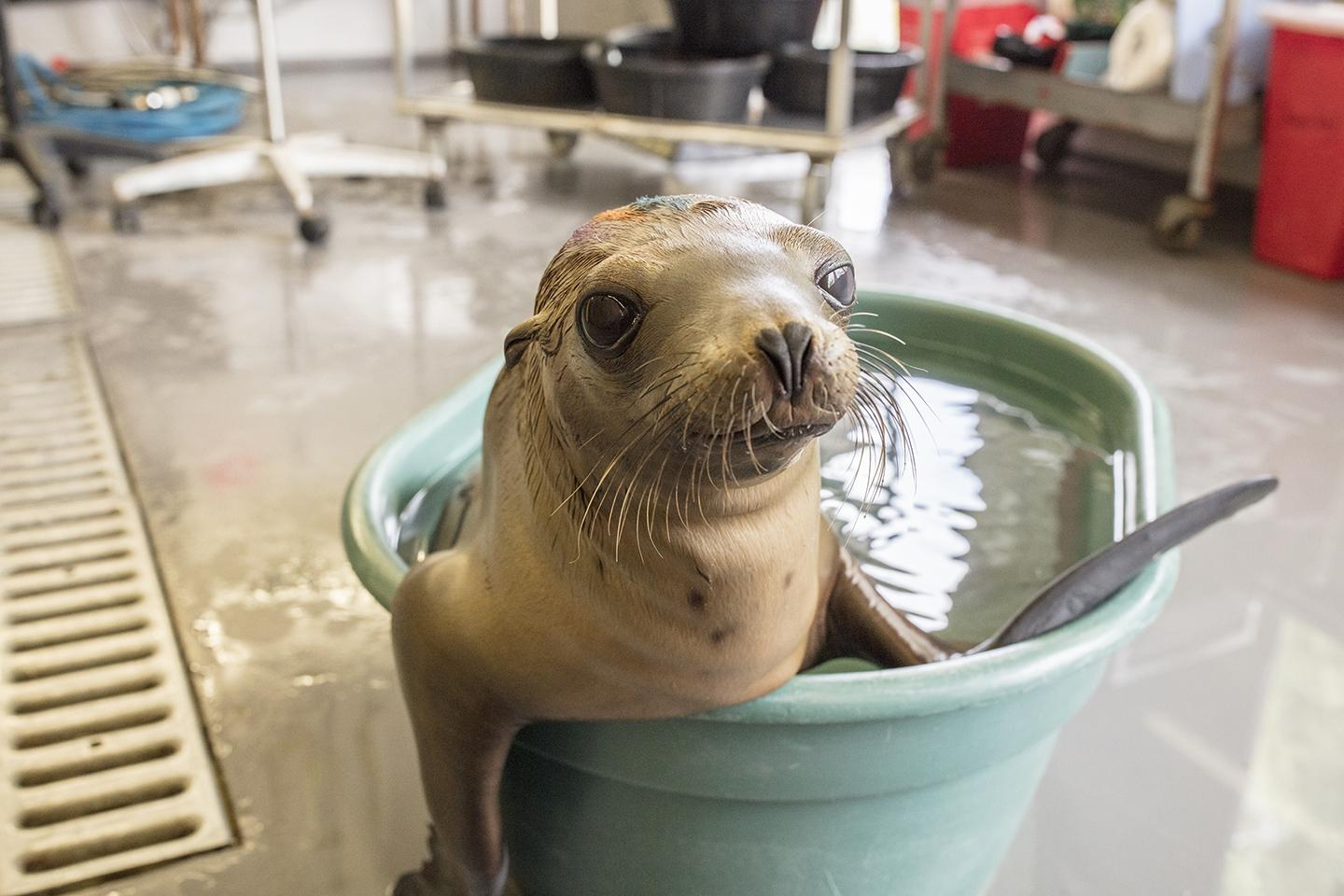 Shedd Experts Help Rescue 55 Plus Stranded Sea Lion Pups In California Chicago News Wttw