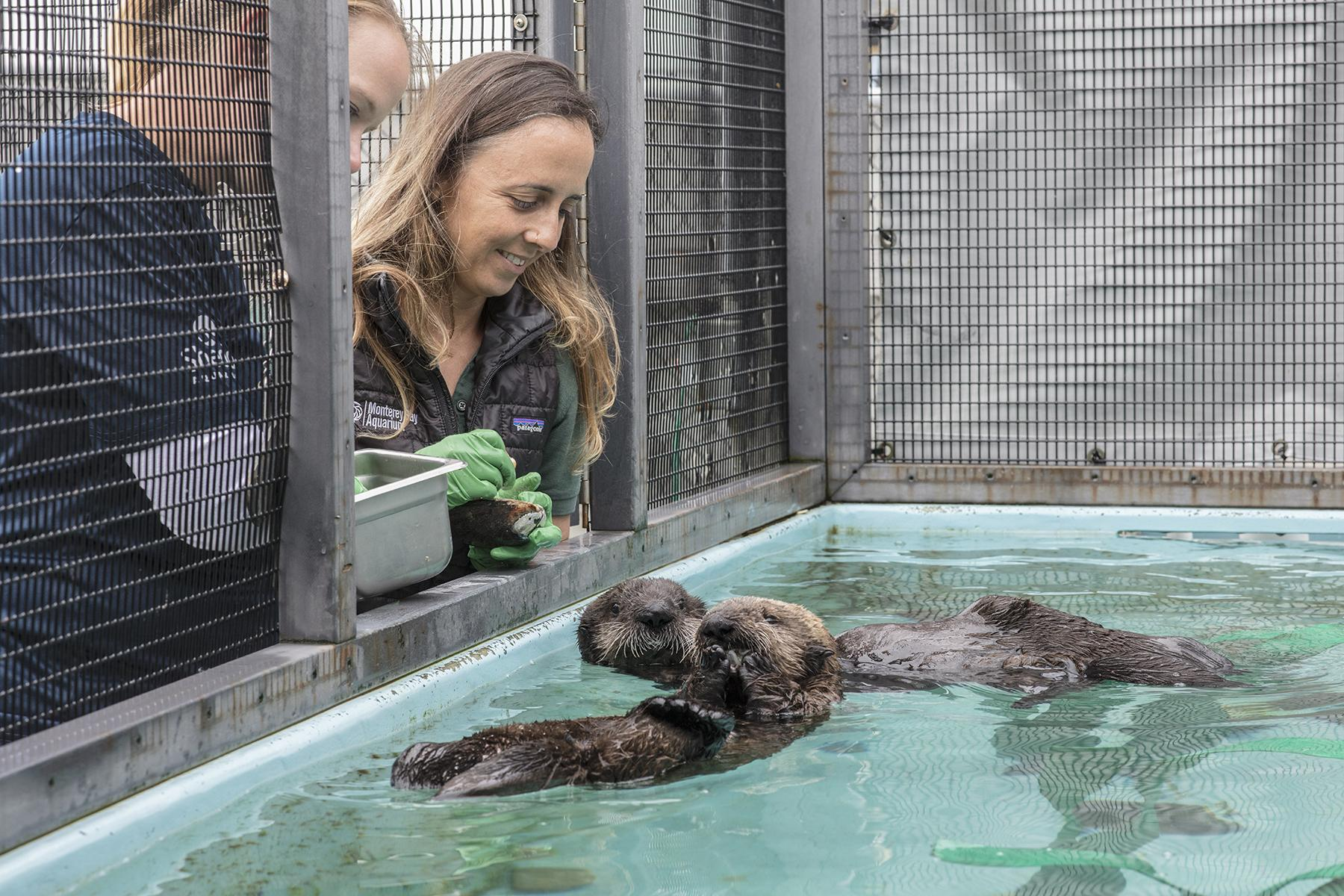 Shedd will continue to provide update on the development of two rescued sea otter pups. (Brenna Hernandez / Shedd Aquarium)