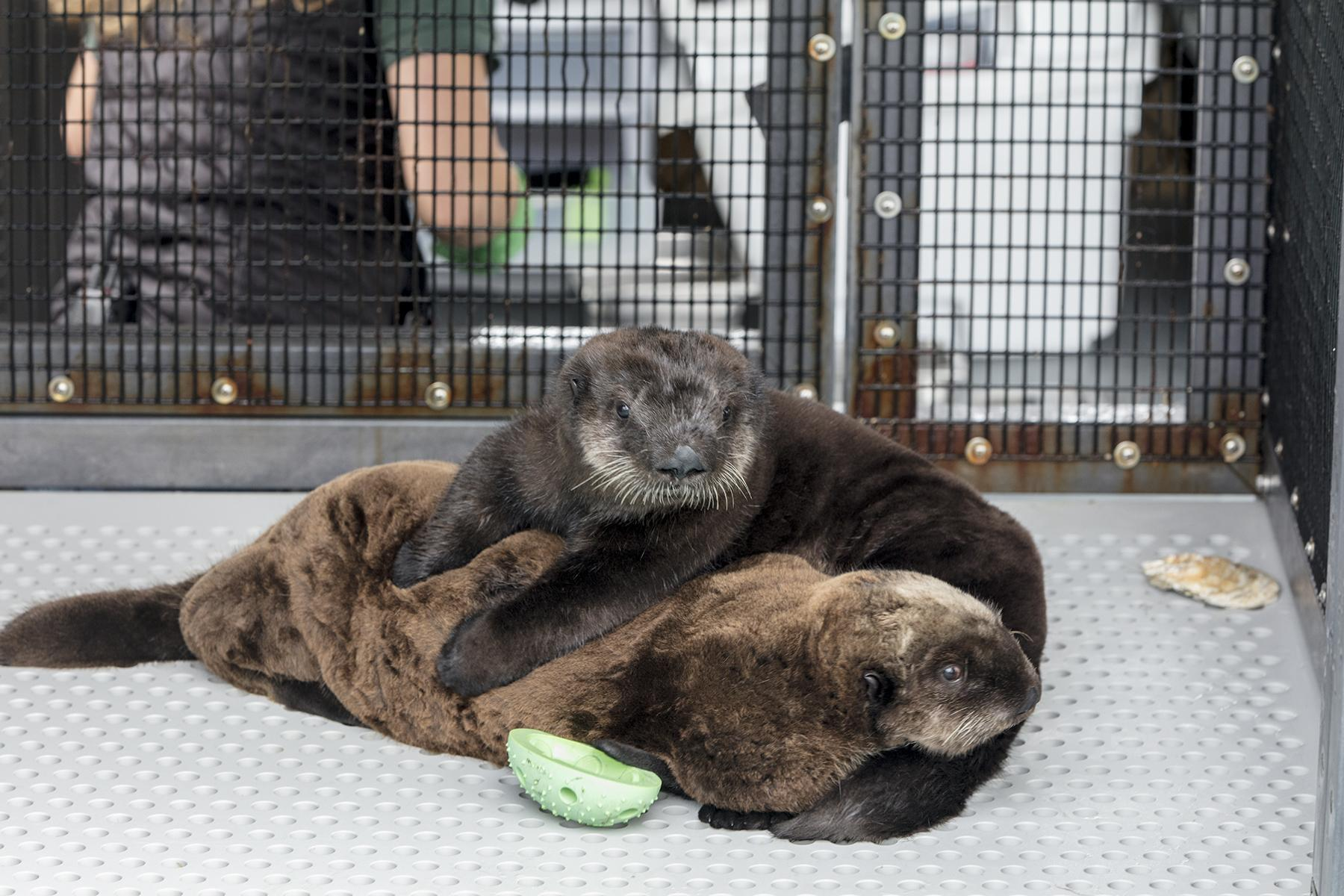 The newly arrived sea otter pups were deemed non-releasable by the U.S. Fish and Wildlife Service. (Brenna Hernandez / Shedd Aquarium)