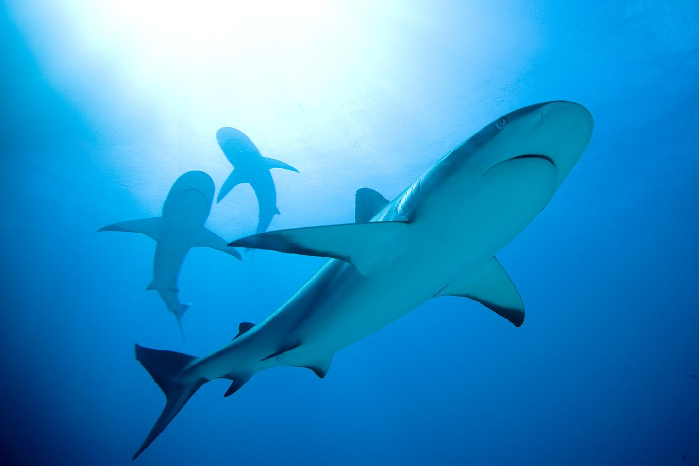 A Group Of Caribbean Reef Sharks Swims In The Bahamas Shark Sanctuary Which Prevents