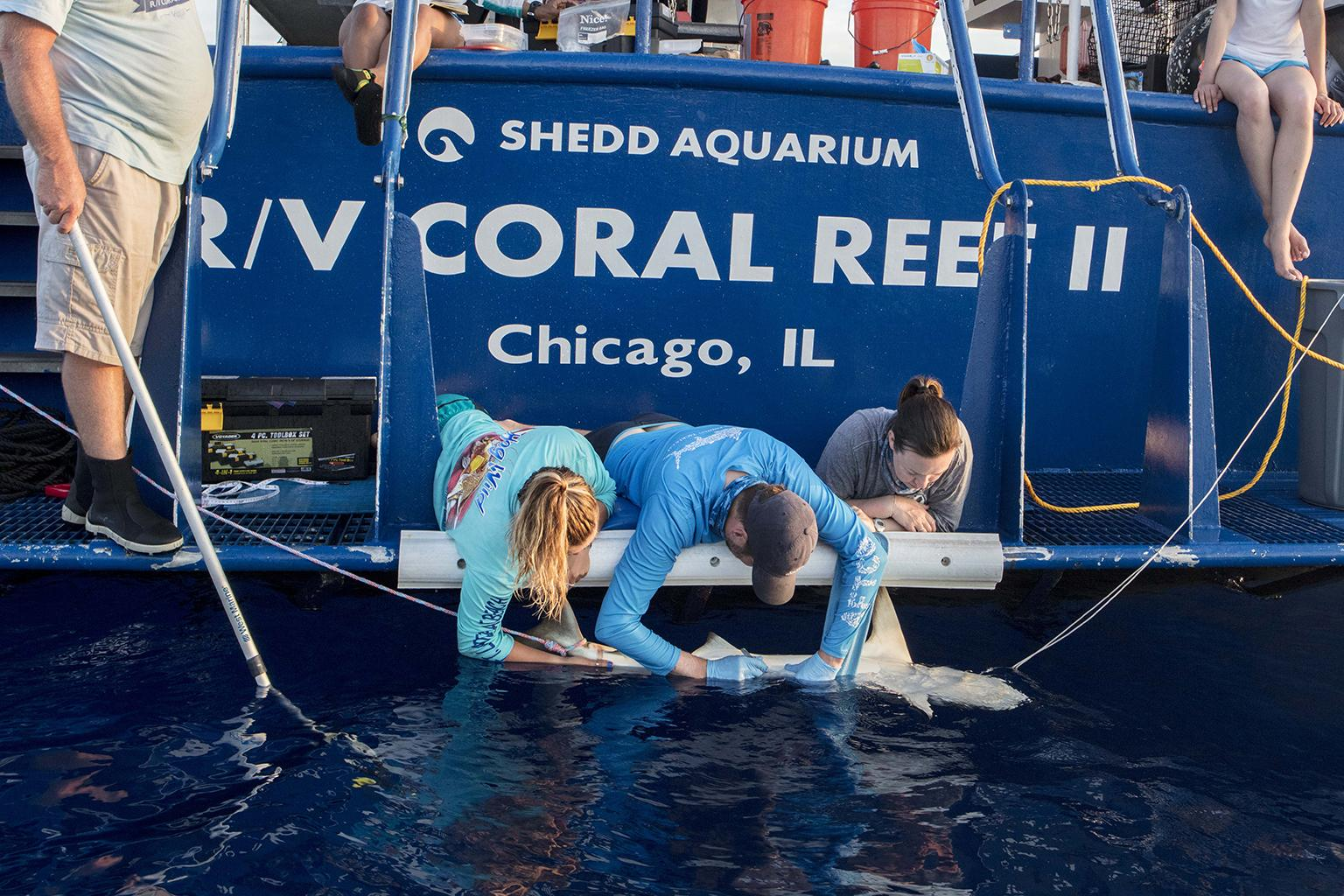 From the back of Shedd Aquarium's research vessel, the R/V Coral Reef II, Dr. Steve Kessel, middle, collects tissue samples from a Caribbean reef shark (Carcharhinus perezii) alongside two field research assistants, Abby Nease, left, and Jill Brooks. (Courtesy Shedd Aquarium)