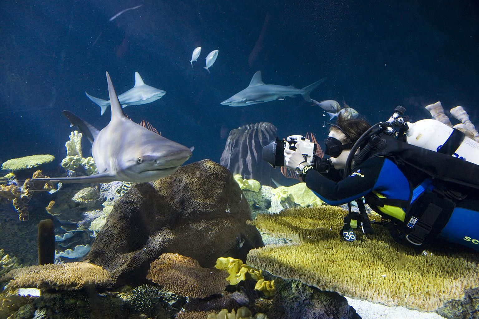 Shedd Aquarium's Brenna Hernandez photographs a sandbar shark in the aquarium's Wild Reef exhibit. (Courtesy Shedd Aquarium)