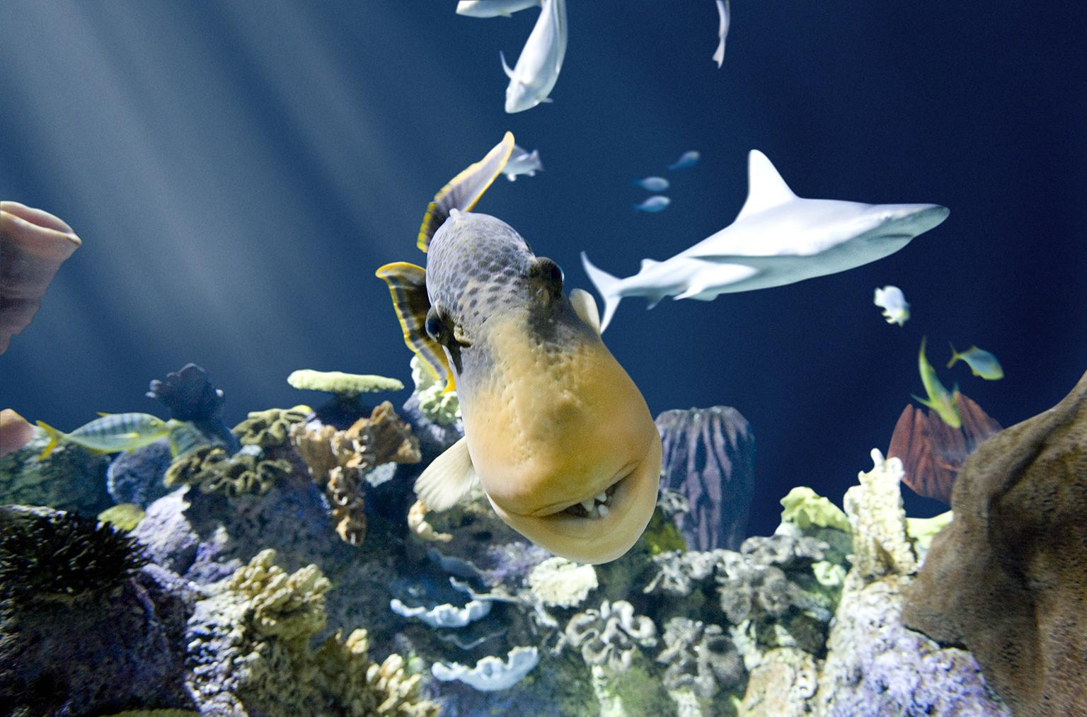 A yellow-margin triggerfish at Shedd Aquarium (Brenna Hernandez / Shedd Aquarium)