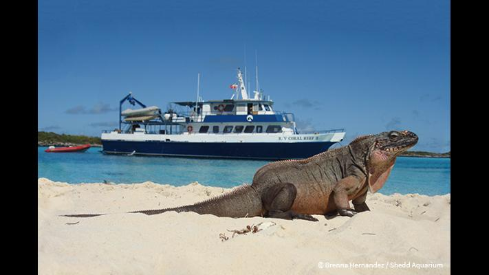 An iguana on the Exuma Islands in the Bahamas (Brenna Hernandez / Shedd Aquarium)
