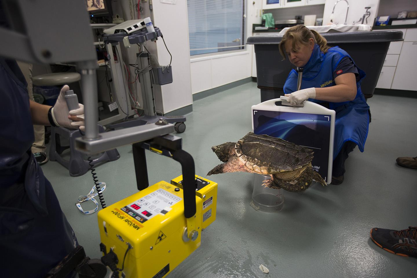 Dante, a 13-year-old alligator snapping turtle, undergoes a physical exam at Shedd's on-site animal hospital. (Heidi Zeiger / © Shedd Aquarium)
