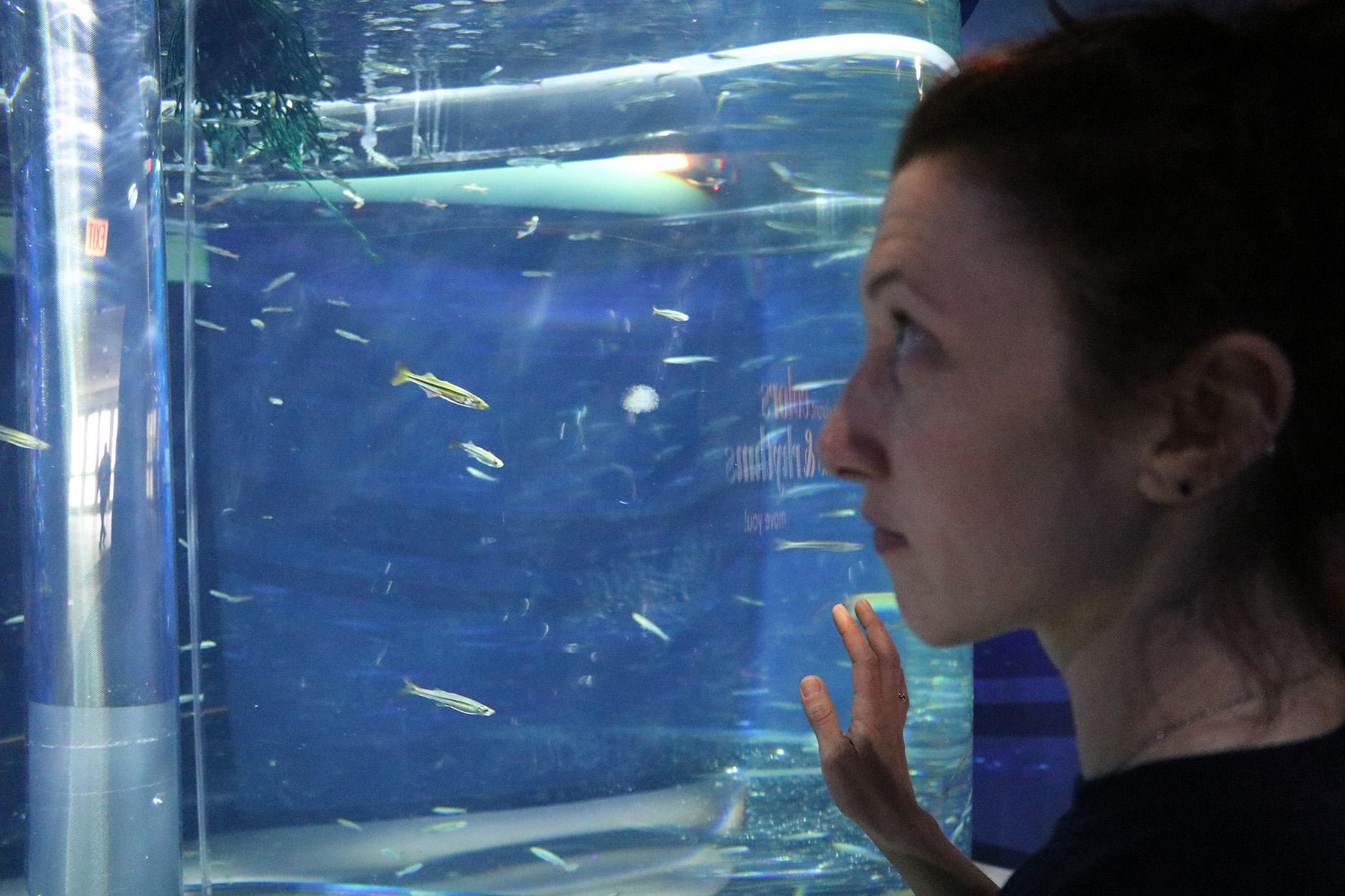 Senior aquarist Erika Moss observes silversides, schooling fish which attract many predators. (Evan Garcia / WTTW News)