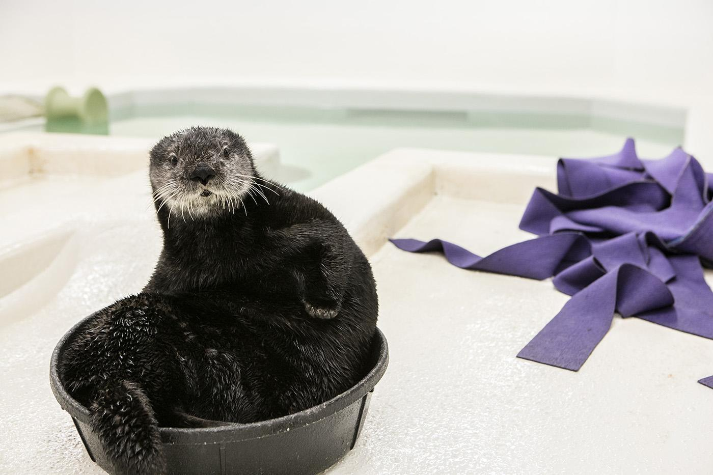 "In 2014, Luna, one of the Shedd's sea otters, was rescued off a California coast at just one week old. Wildlife officials believed she'd been separated by her mother and in ""dire need"" of food. (Courtesy Shedd Aquarium)"