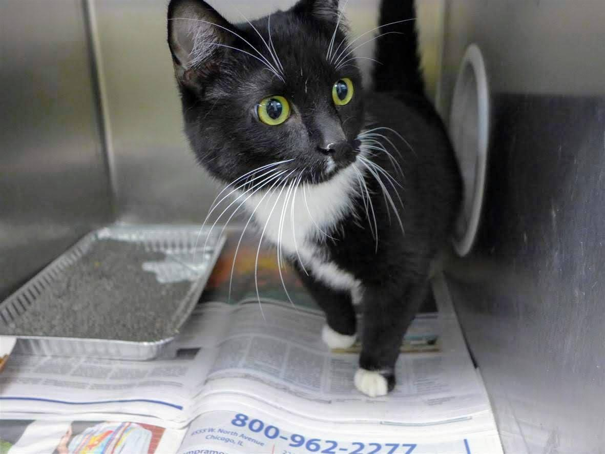 Ricky, a male cat at Chicago's Animal Care and Control shelter (Chicago Animal Care and Control)