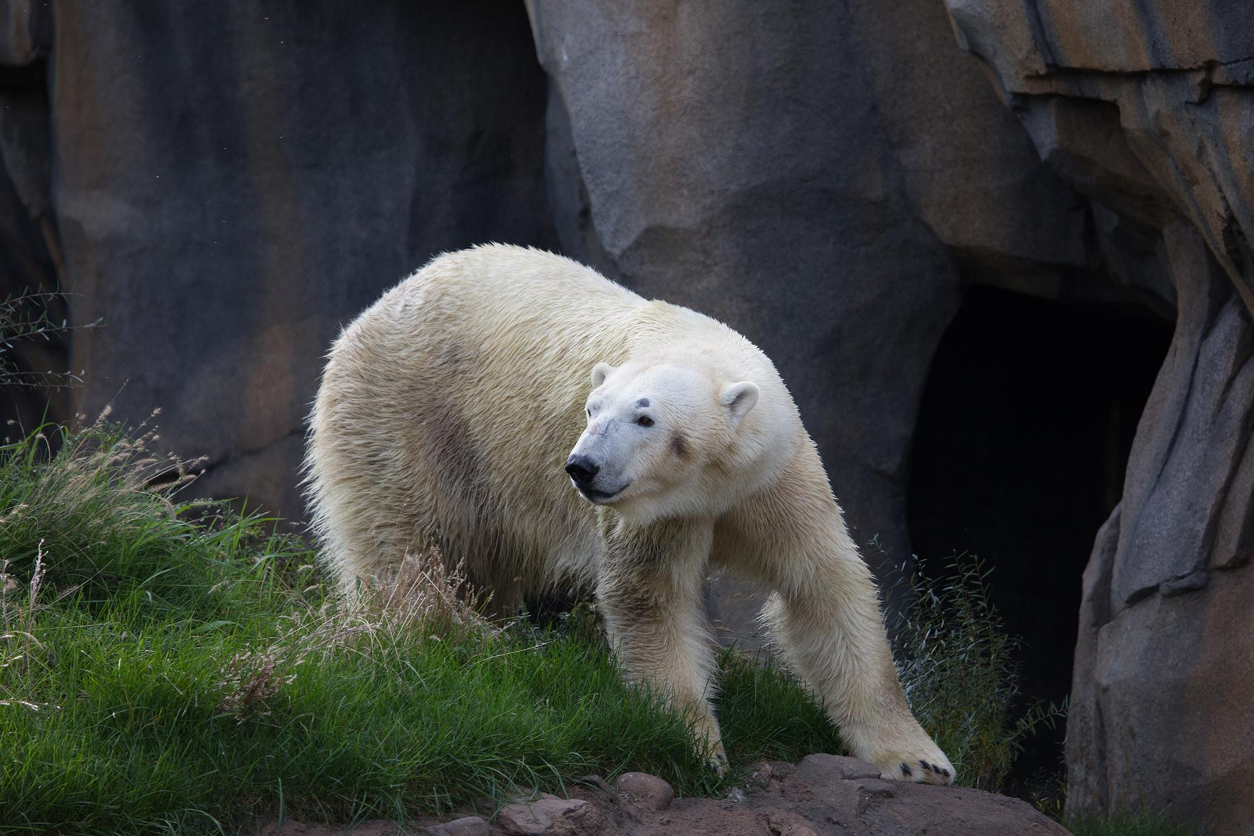 Siku, a male polar bear at Lincoln Park Zoo, pictured in 2016. (Julia Fuller / Lincoln Park Zoo)