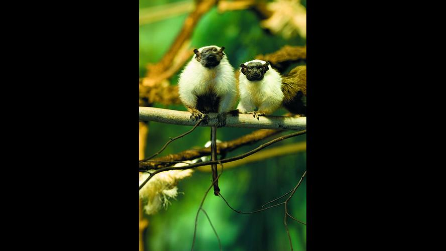 Mario and Izabel, Lincoln Park Zoo's pied tamarin monkeys. (Courtesy Lincoln Park Zoo)