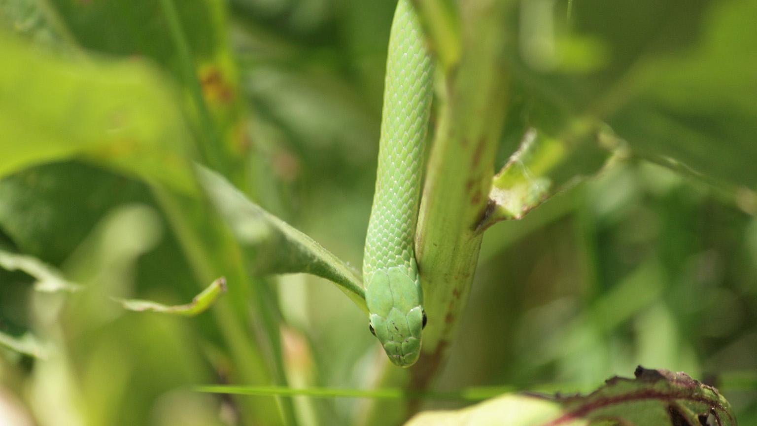 Conservationists are preparing to release about 20 smooth green snakes, like the one pictured here, into an enclosed setting on July 25. (Courtesy Lincoln Park Zoo)