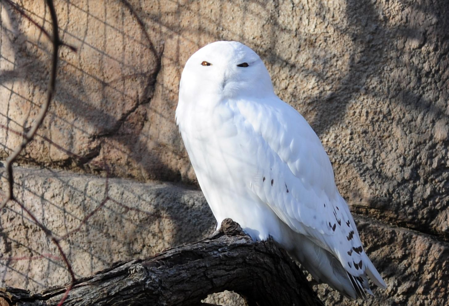 MAP: Snowy Owl Sightings in Chicago Area | Chicago News | WTTW - photo#44