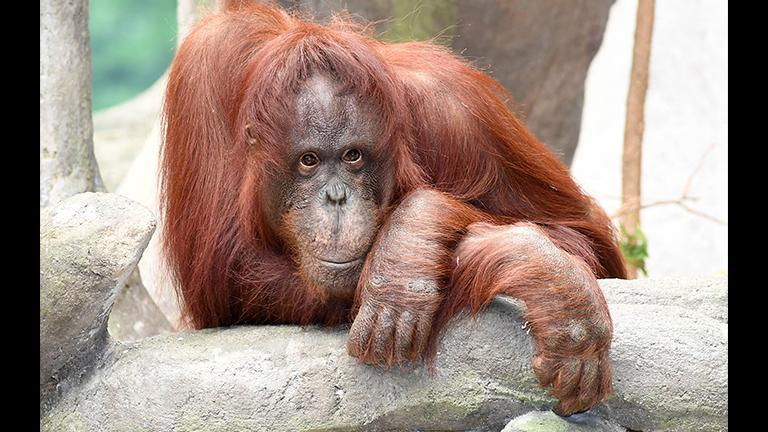 Sophia at the Brookfield Zoo. The conservation status of Bornean orangutans is exacerbated by their slow breeding: a female typically only gives birth to one offspring every eight years, according to Amy Roberts, Brookfield Zoo's curator of mammals. (Chicago Zoological Society)