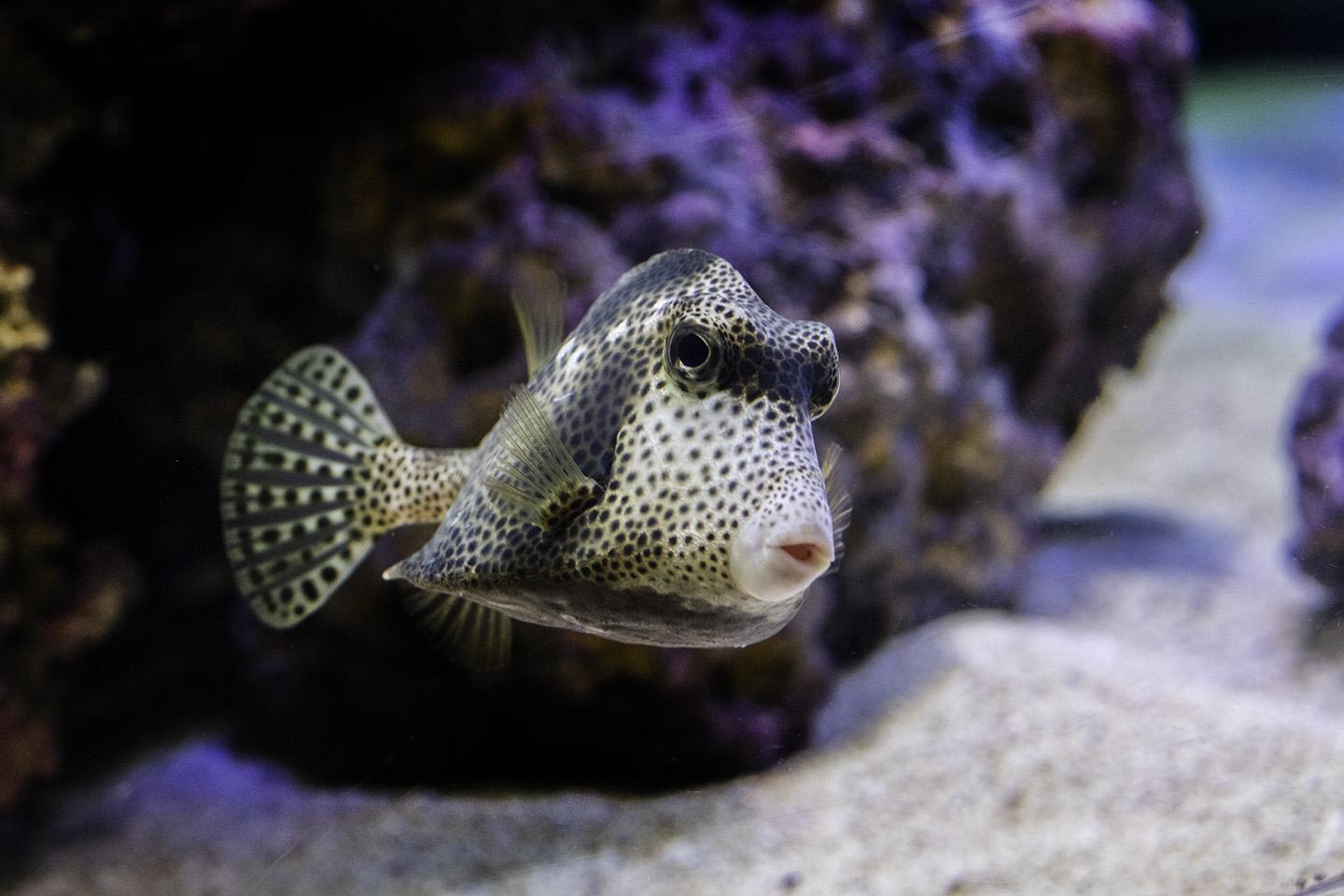 "A spotted trunkfish at Shedd's special exhibit ""Underwater Beauty."" (Courtesy Shedd Aquarium)"