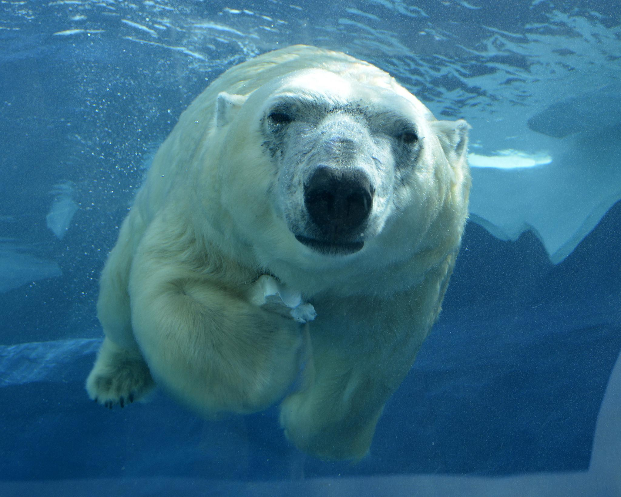 Lincoln Park Zoo recently welcomed Talini, a 14-year-old female polar bear who lived previously at Detroit Zoo. (Roy Lewis / Detroit Zoo)