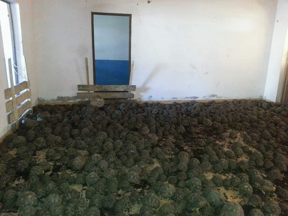 More than 10,000 tortoises were found last month in an abandoned house in Madagascar. (Courtesy Turtle Survival Alliance)