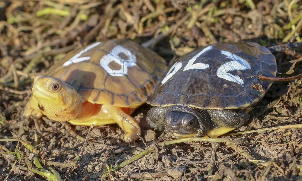 Shirlee, left, next to a normal-colored Blanding's turtle (Courtesy Forest Preserve District of DuPage County)