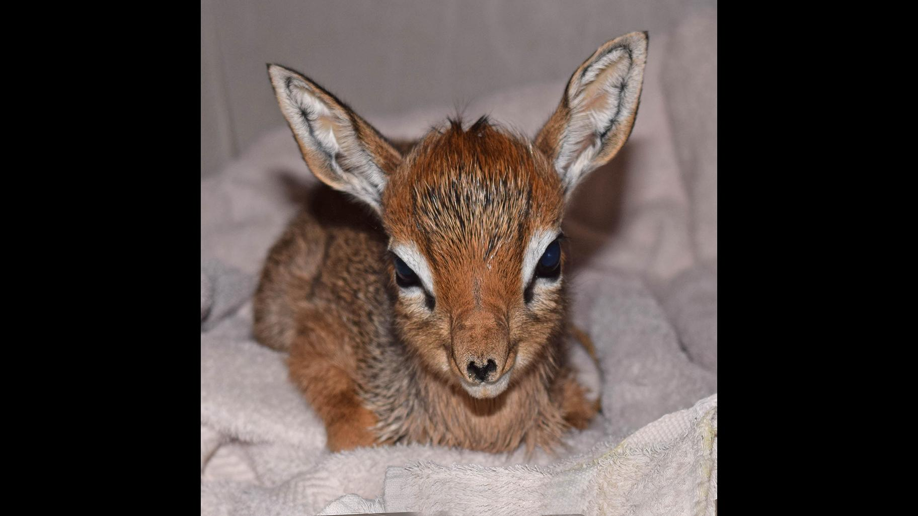 A newborn tiny African antelope named Valentino weighed in at 23 ounces (Cathy Bazzoni / Chicago Zoological Society)